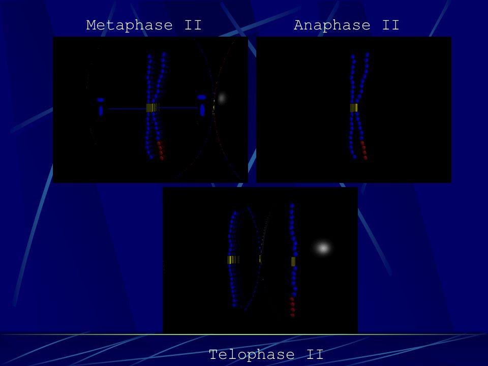 Prophase IITelophase I Anaphase IMetaphase I