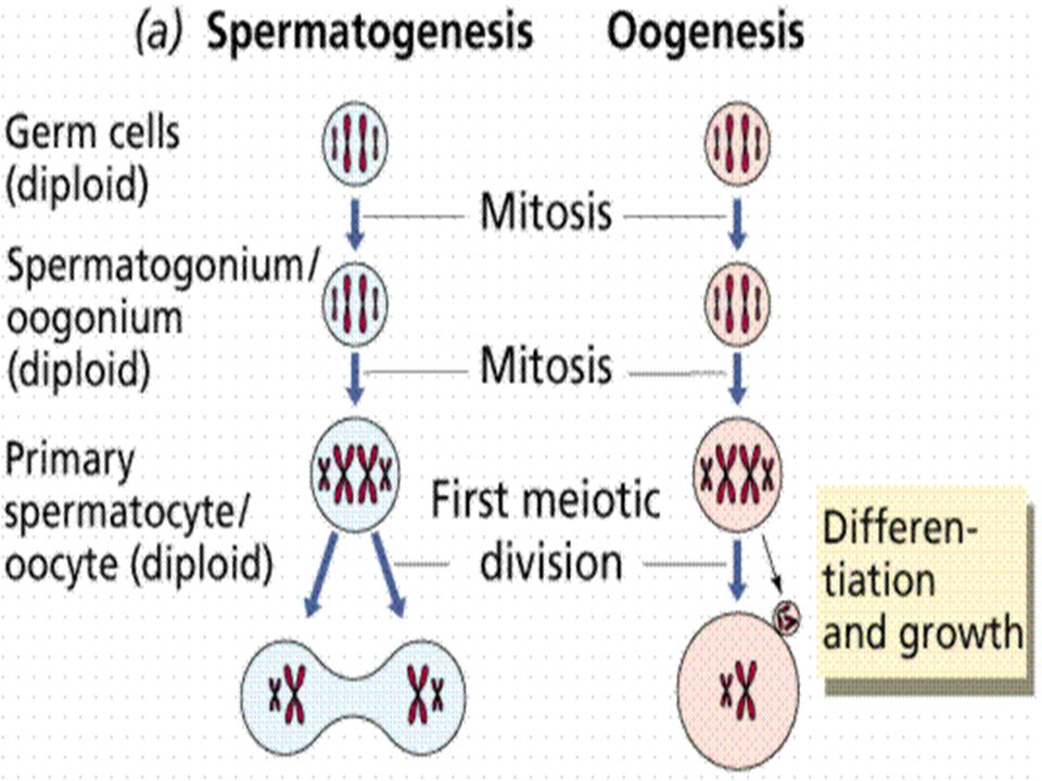 Germ line cells undergo gametogenesis Spermatogenesis produces sperm Oogenesis typically produces eggs, or a single ovum and two or more polar bodies