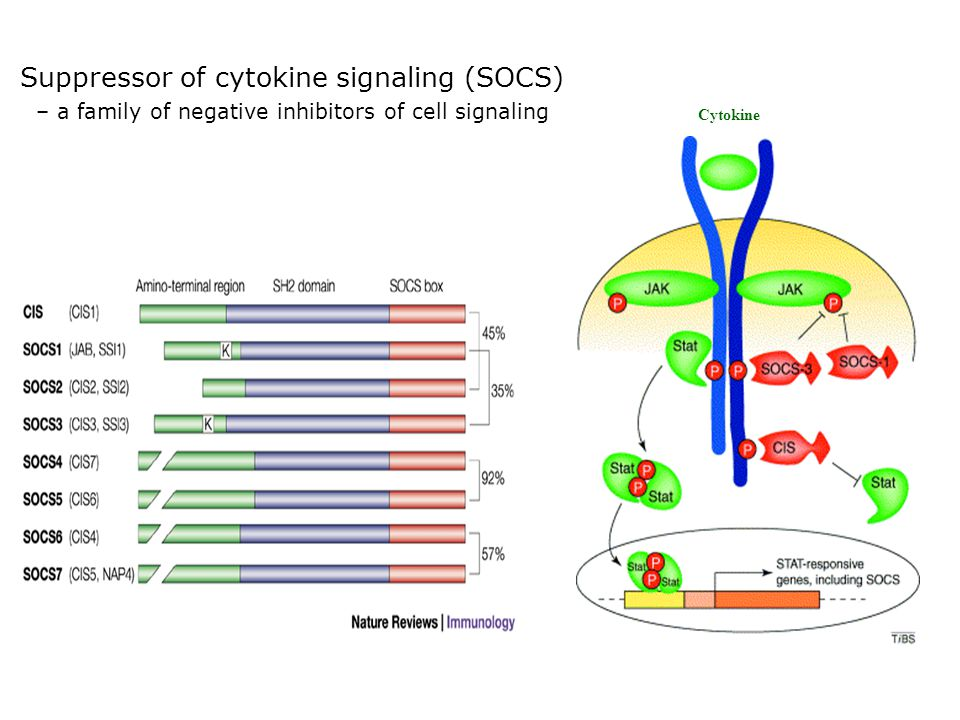 Suppressor of cytokine signaling (SOCS) – a family of negative inhibitors of cell signaling Cytokine