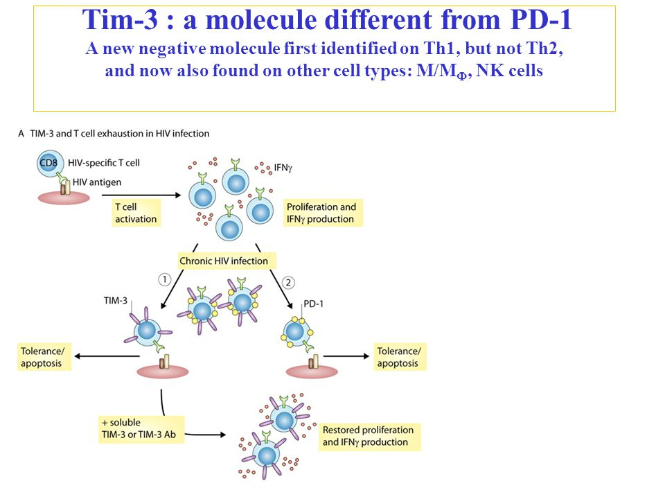 Tim-3 : a molecule different from PD-1 A new negative molecule first identified on Th1, but not Th2, and now also found on other cell types: M/M Ф, NK cells