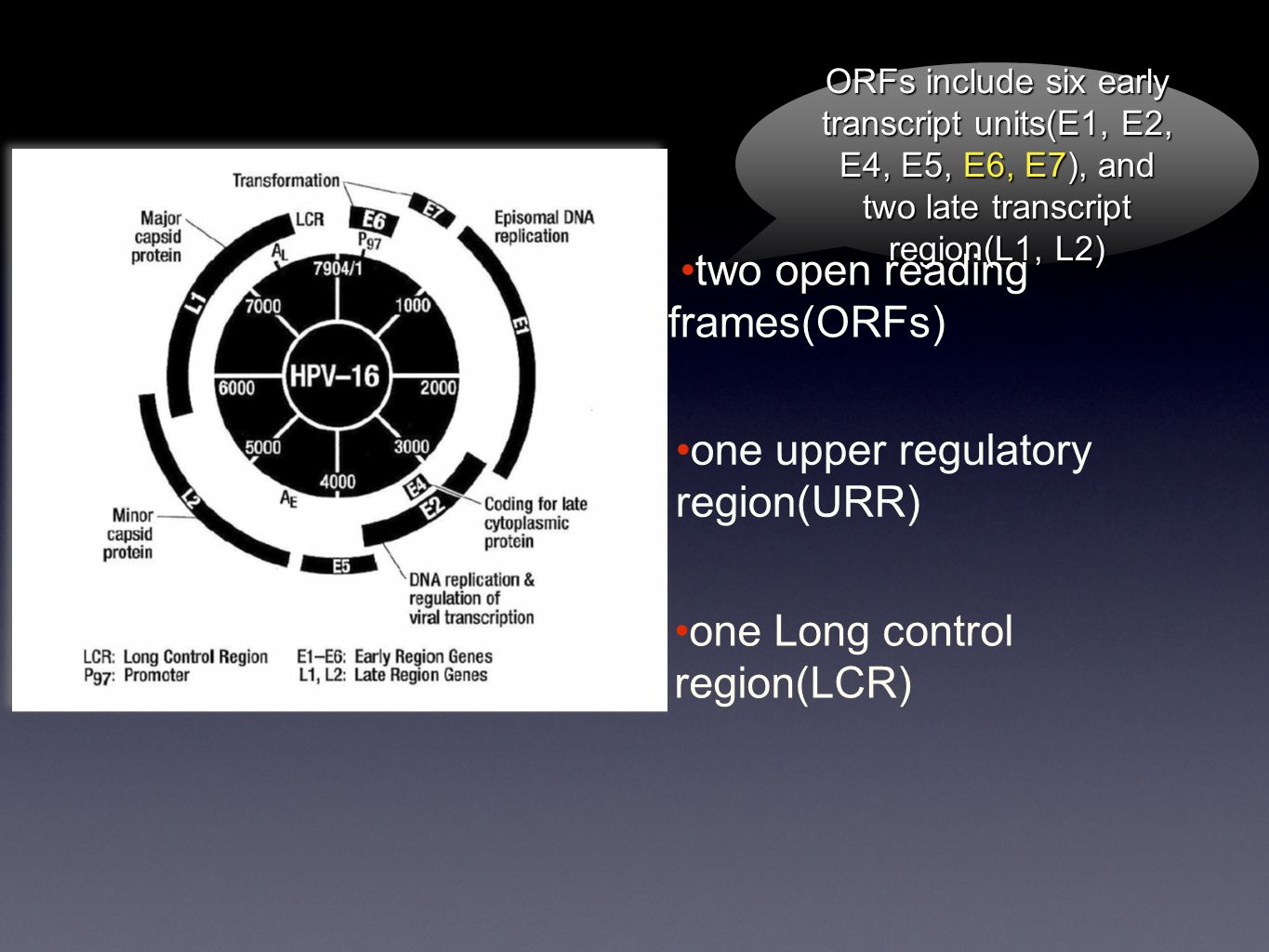 ORFs include six early transcript units(E1, E2, E4, E5, E6, E7), and two late transcript region(L1, L2) two open reading frames(ORFs) one upper regulatory region(URR) one Long control region(LCR)