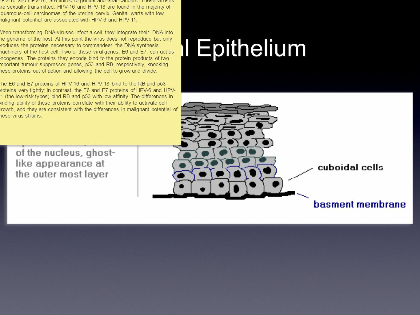 Normal Epithelium More than 70 types of human papillomavirus (HPV) have been described.