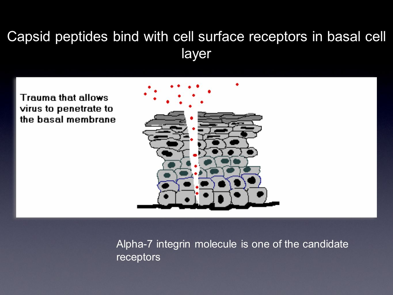 Capsid peptides bind with cell surface receptors in basal cell layer Alpha-7 integrin molecule is one of the candidate receptors