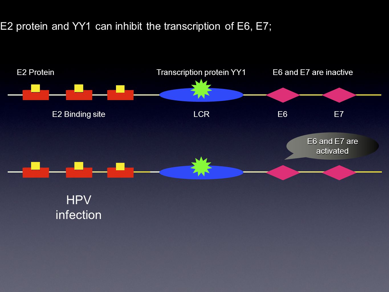 E2 protein and YY1 can inhibit the transcription of E6, E7; E2 Binding siteLCR E2 ProteinTranscription protein YY1 E6E7 E6 and E7 are inactive E6 and E7 are activated HPV infection