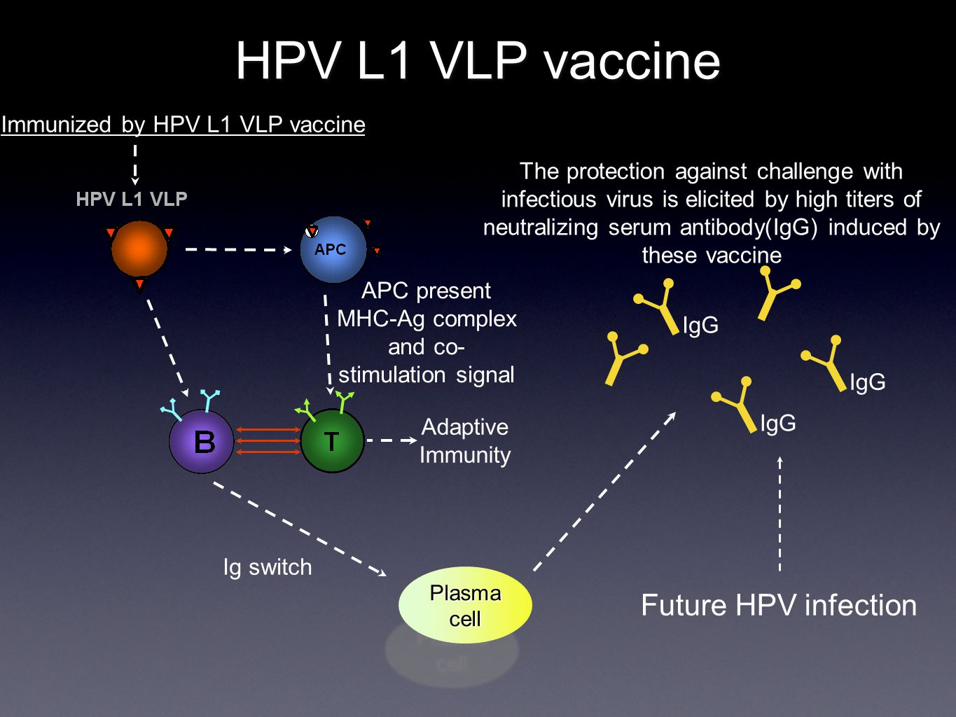 HPV L1 VLP vaccine IgG APC present MHC-Ag complex and co- stimulation signal Plasma cell Ig switch IgG Immunized by HPV L1 VLP vaccine The protection against challenge with infectious virus is elicited by high titers of neutralizing serum antibody(IgG) induced by these vaccine Future HPV infection Adaptive Immunity