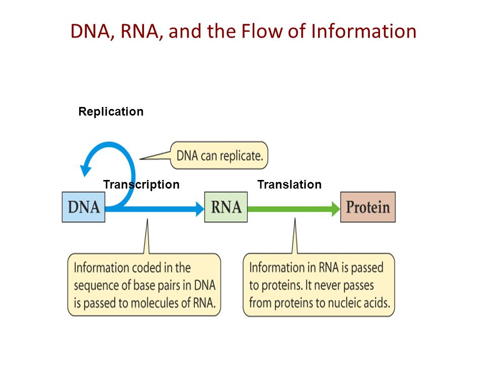 DNA, RNA and flow of information A gene is expressed in two steps 1) Transcription: RNA synthesis 2) Translation: Protein synthesis