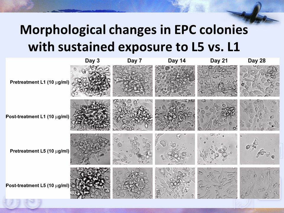 Morphological changes in EPC colonies with sustained exposure to L5 vs. L1