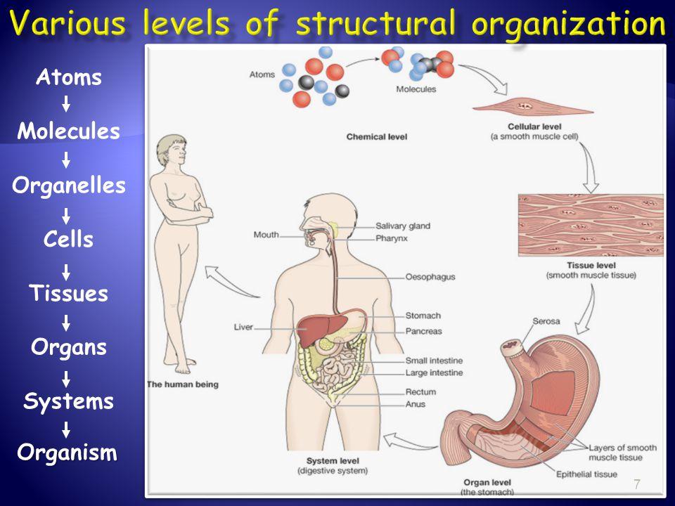 Atoms Molecules Organelles Cells Tissues Organs SystemsOrganism 7