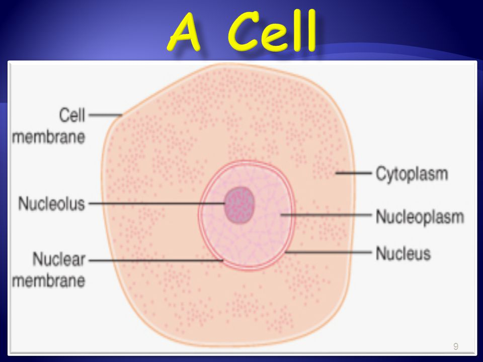  The cell is the basic structural and functional unit of living organisms  The activity of an organism depends on both the individual and collective activity of its cells  The biochemical activities of cells are dictated by their specific subcellular structures (principle of complementarity)  Continuity of life has a cellular basis (cells come from cells) 10