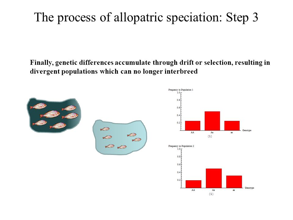 The process of allopatric speciation: an example from sticklebacks Three-spined stickleback Gasterosteus aculeatus ICE Drawing of marine sticklebacks.