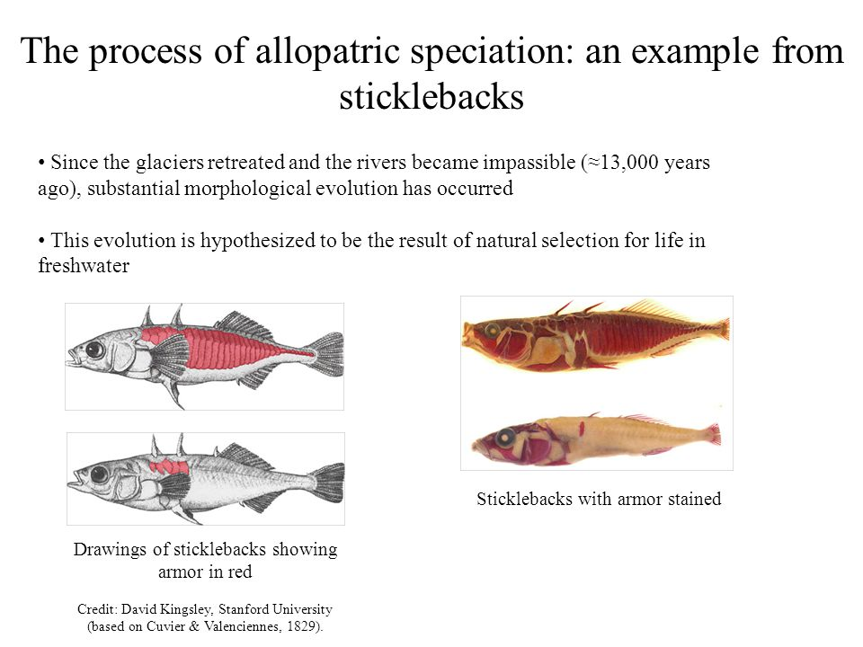 The process of allopatric speciation: an example from sticklebacks If females of one type are now given a choice between the two types of males, they prefer their sympatric type This suggests that we are observing the initial stages of allopatric speciation No way