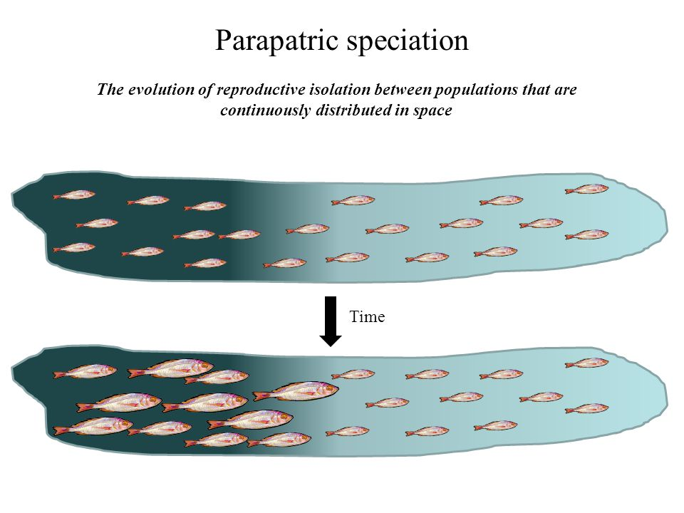 Parapatric speciation The evolution of reproductive isolation between populations that are continuously distributed in space Time