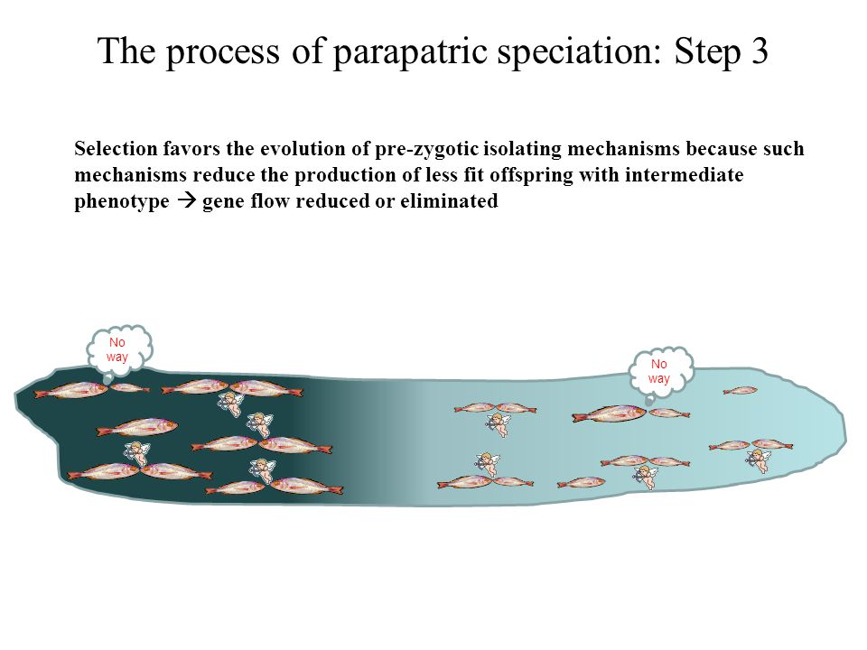 The process of parapatric speciation: Step 3 Selection favors the evolution of pre-zygotic isolating mechanisms because such mechanisms reduce the pro