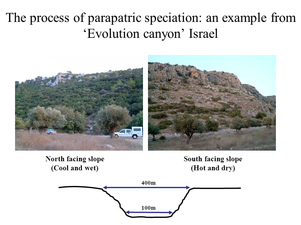 Parapatric speciation: an example from 'Evolution canyon' Israel North facing slope South facing slope 100m 400m Drosophila melanogaster Dispersal distance of Drosophila (≈ 2km) -Decreased desiccation resistance -Decreased tolerance for thermal stress -Increased desiccation resistance -Increased tolerance for thermal stress Genetic differences for adaptive traits persist on the different sides of the canyon despite the potential for substantial gene flow