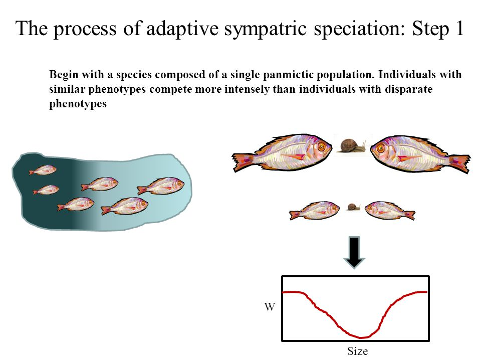 The process of adaptive sympatric speciation: Step 2 Because individuals with extreme phenotypes compete less, extreme phenotypes are favored by natural selection and begin to increase in frequency within the population Time