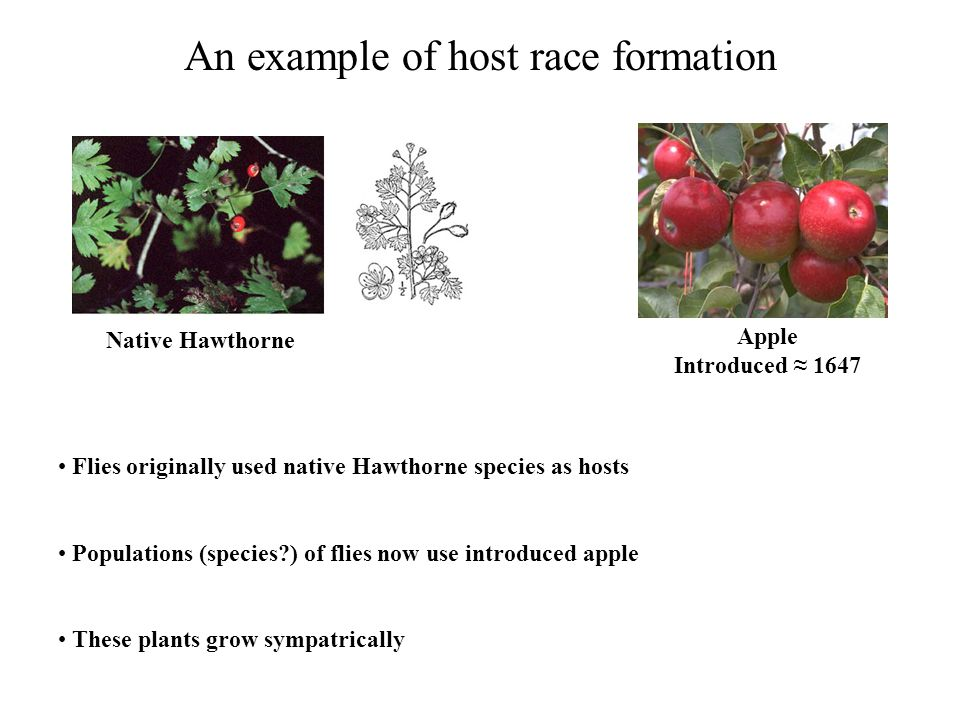 Testing for host race formation Flies on apples emerge earlier Apple flies prefer to mate with apple flies rather than Hawthorne flies and vice versa Apple flies have higher fitness on apples than on Hawthorne and vice versa Substantial genetic divergence exists between apple and Hawthorne fly populations Appears to be a case of sympatric speciation 'in action'