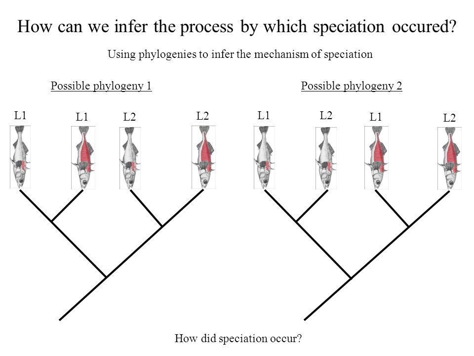 How can we infer the process by which speciation occured? Using phylogenies to infer the mechanism of speciation How did speciation occur? Possible ph