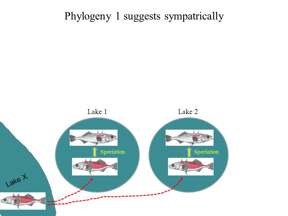 Phylogeny 1 suggests sympatrically Lake 1Lake 2 Lake X Speciation