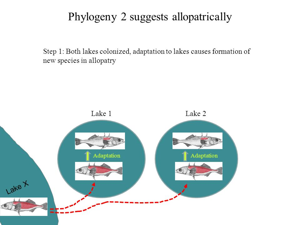 Phylogeny 2 suggests allopatrically Lake 1Lake 2 Lake X Adaptation Step 1: Both lakes colonized, adaptation to lakes causes formation of new species i