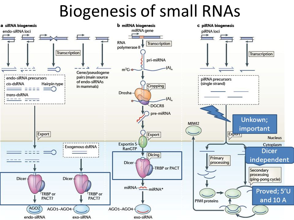 piRNA biogenesis Long precursor can generate a lot of piRNAs, thus is piRNA cluster Not only piwi.