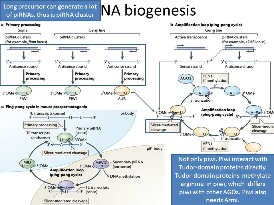 piRNA biogenesis Long precursor can generate a lot of piRNAs, thus is piRNA cluster Not only piwi.