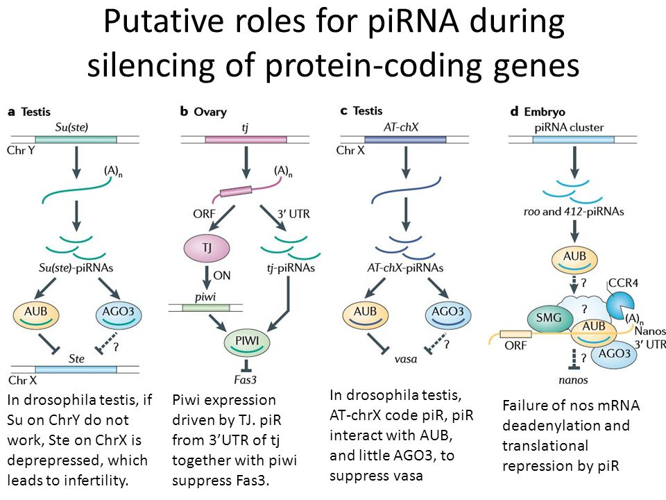 Model's other assumptions Retrotransposons inserted into piRNA- generating regions will be suppressed.