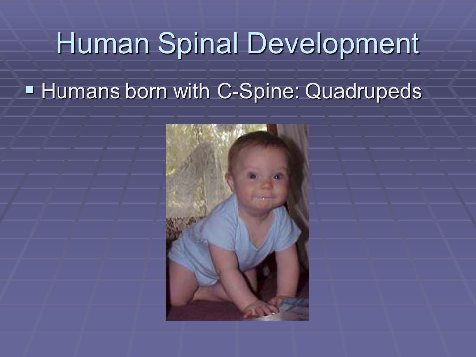 Human Spinal Development  Humans born with C-Spine: Quadrupeds
