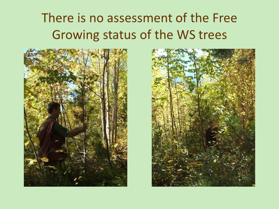 There is no assessment of the Free Growing status of the WS trees