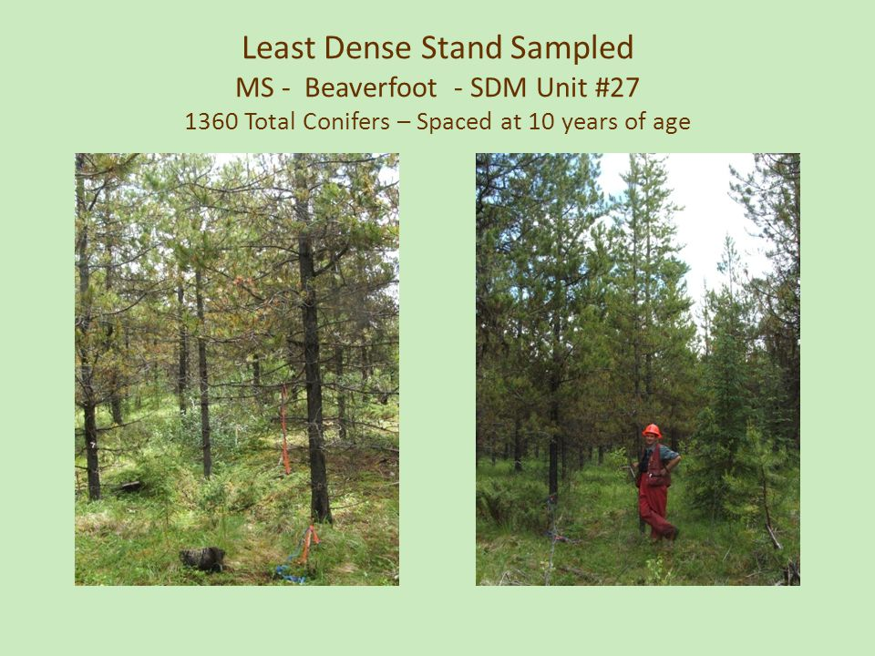 Least Dense Stand Sampled MS - Beaverfoot - SDM Unit #27 1360 Total Conifers – Spaced at 10 years of age