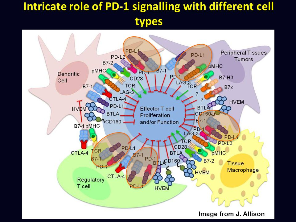 Intricate role of PD-1 signalling with different cell types Image from J. Allison