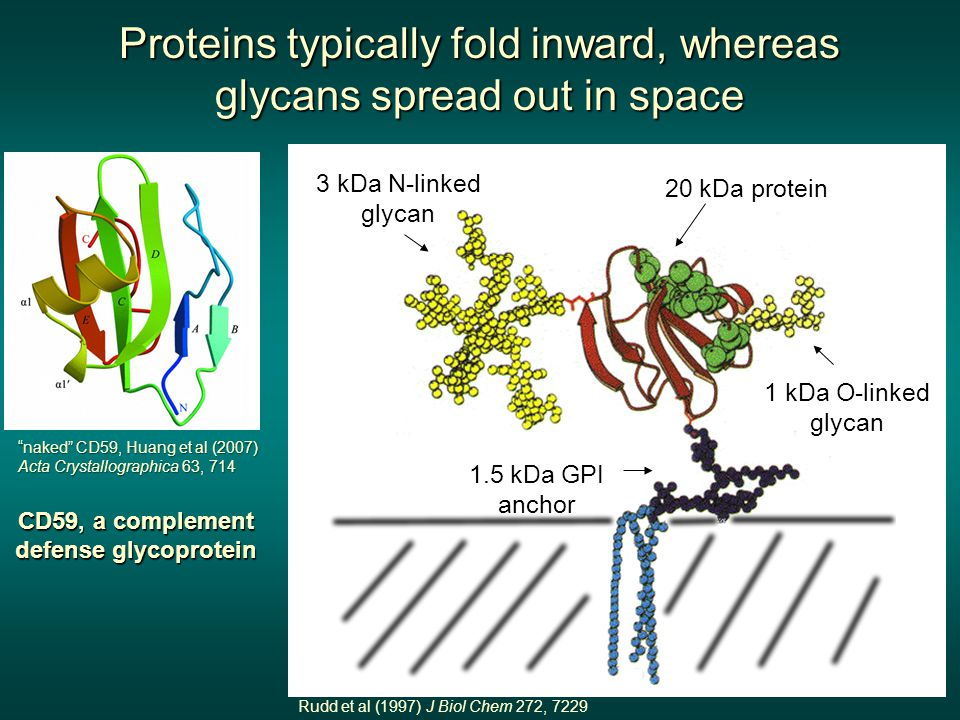 CD59, a complement defense glycoprotein 20 kDa protein 3 kDa N-linked glycan 1 kDa O-linked glycan 1.5 kDa GPI anchor Proteins typically fold inward,