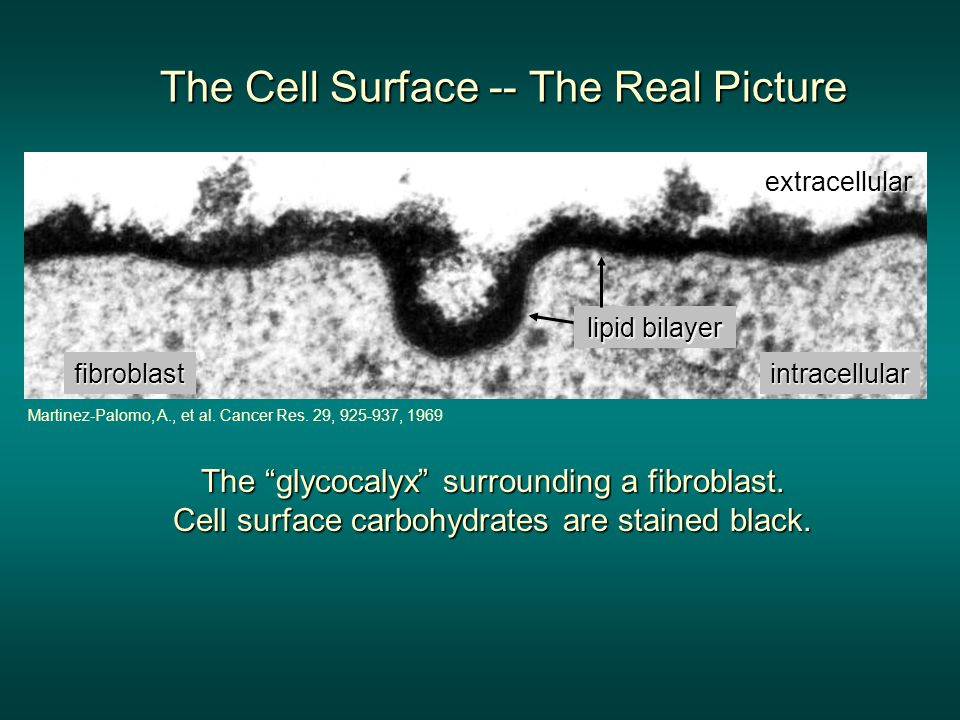 "The ""glycocalyx"" surrounding a fibroblast. Cell surface carbohydrates are stained black. lipid bilayer fibroblast extracellular intracellular Martinez"