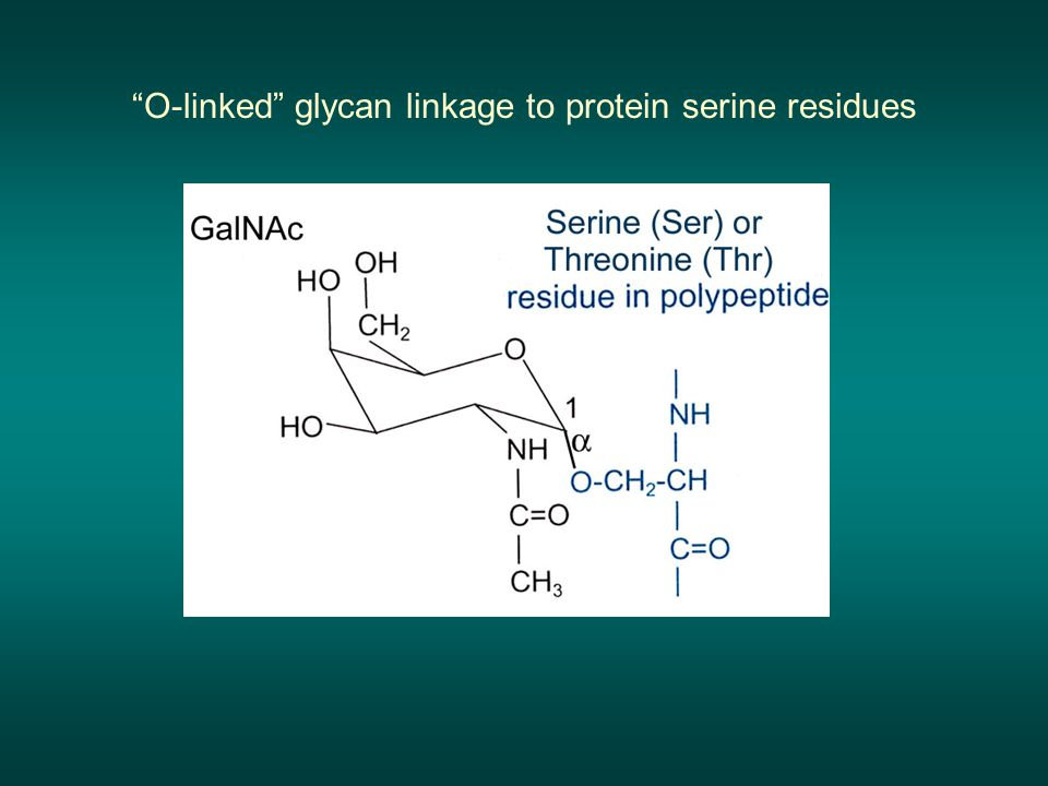 """O-linked"" glycan linkage to protein serine residues"
