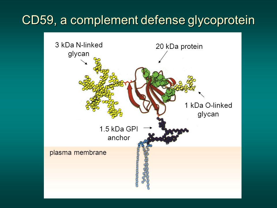 20 kDa protein 3 kDa N-linked glycan 1 kDa O-linked glycan 1.5 kDa GPI anchor plasma membrane CD59, a complement defense glycoprotein