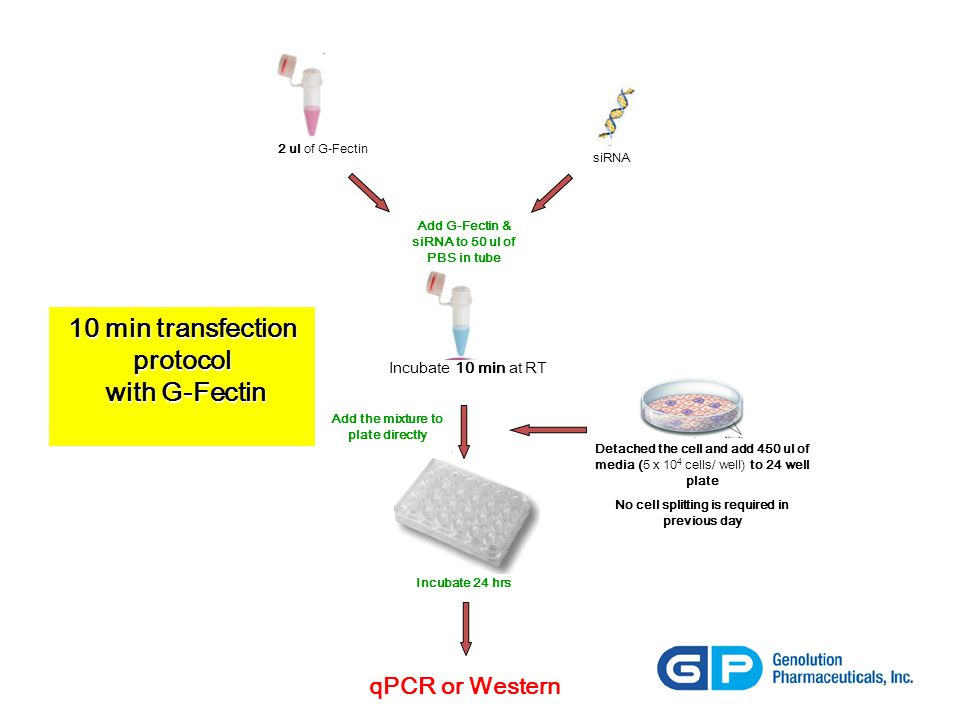 10 min transfection protocol with G-Fectin with G-Fectin 2 ul of G-Fectin siRNA Add the mixture to plate directly Incubate 24 hrs qPCR or Western Add G-Fectin & siRNA to 50 ul of PBS in tube Incubate 10 min at RT Detached the cell and add 450 ul of media (5 x 10 4 cells/ well) to 24 well plate No cell splitting is required in previous day
