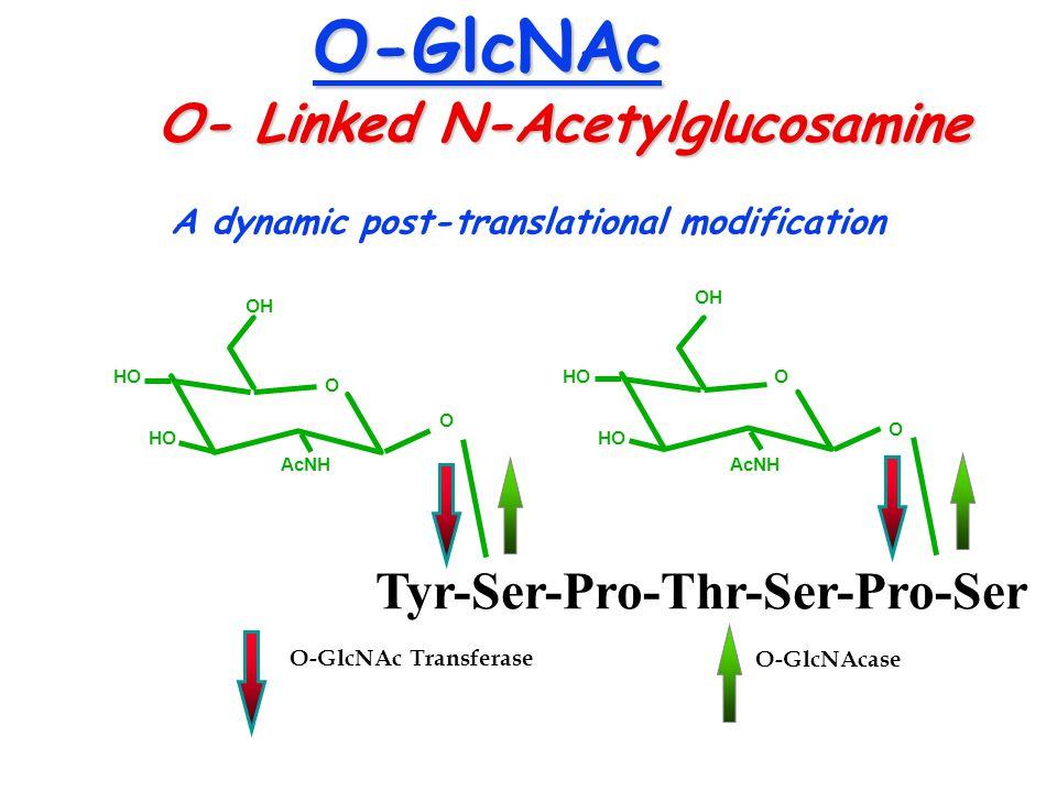 O-GlcNAc O- Linked N-Acetylglucosamine Tyr-Ser-Pro-Thr-Ser-Pro-Ser O AcNH HO OH O O AcNH HO OH O HO A dynamic post-translational modification O-GlcNAc Transferase O-GlcNAcase