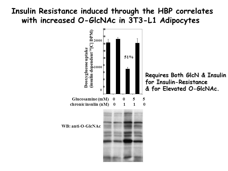 Glucosamine (mM) 0 0 5 5 chronic insulin (nM) 0 1 1 0 Deoxyglucose uptake (insulin dependent 14 [C] DPM) 20000 10000 0 51% WB: anti-O-GlcNAc Insulin Resistance induced through the HBP correlates with increased O-GlcNAc in 3T3-L1 Adipocytes Requires Both GlcN & Insulin for Insulin-Resistance & for Elevated O-GlcNAc.
