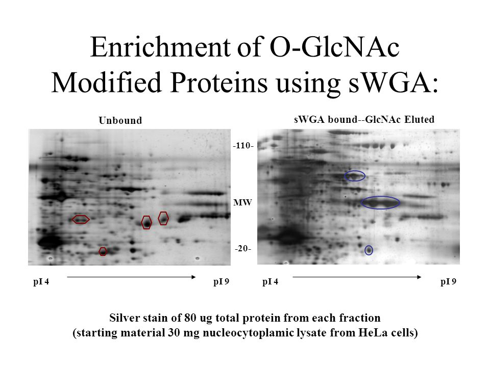pI 4pI 9pI 4pI 9 Unbound sWGA bound--GlcNAc Eluted -110- MW -20- Silver stain of 80 ug total protein from each fraction (starting material 30 mg nucleocytoplamic lysate from HeLa cells) Enrichment of O-GlcNAc Modified Proteins using sWGA: