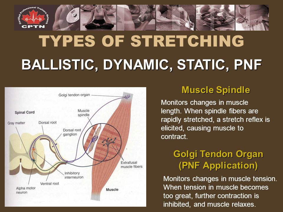 TYPES OF STRETCHING BALLISTIC, DYNAMIC, STATIC, PNF Golgi Tendon Organ (PNF Application) Muscle Spindle Monitors changes in muscle length. When spindl