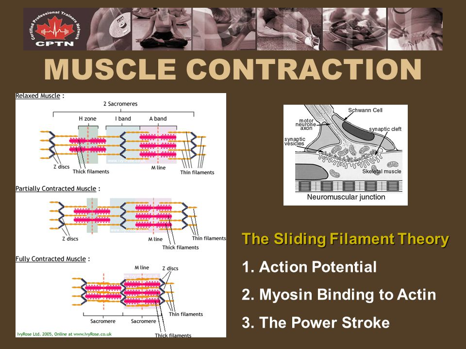 The Sliding Filament Theory 1.Action Potential 2.Myosin Binding to Actin 3.The Power Stroke