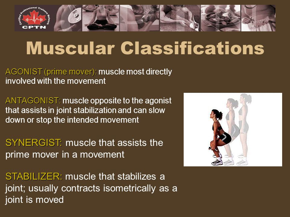 Muscular Classifications AGONIST (prime mover): AGONIST (prime mover): muscle most directly involved with the movement ANTAGONIST: ANTAGONIST: muscle