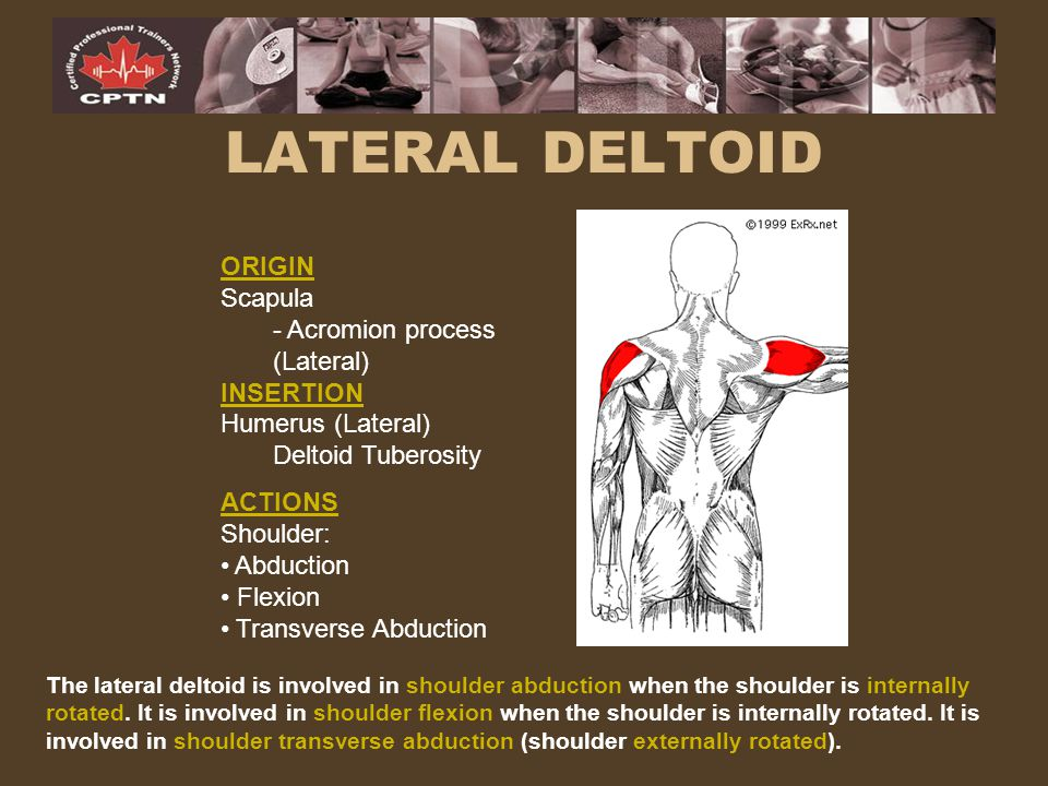 The lateral deltoid is involved in shoulder abduction when the shoulder is internally rotated. It is involved in shoulder flexion when the shoulder is