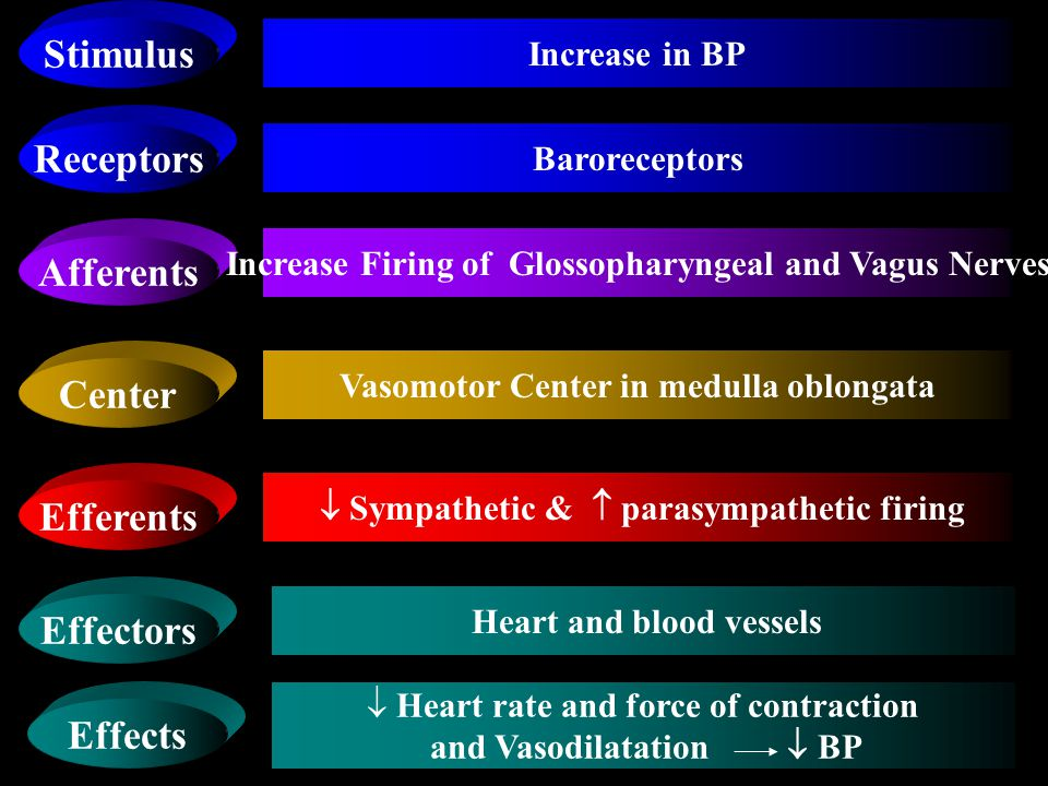 COMPONENTS OF BARORECEPTOR REFLEX ARC