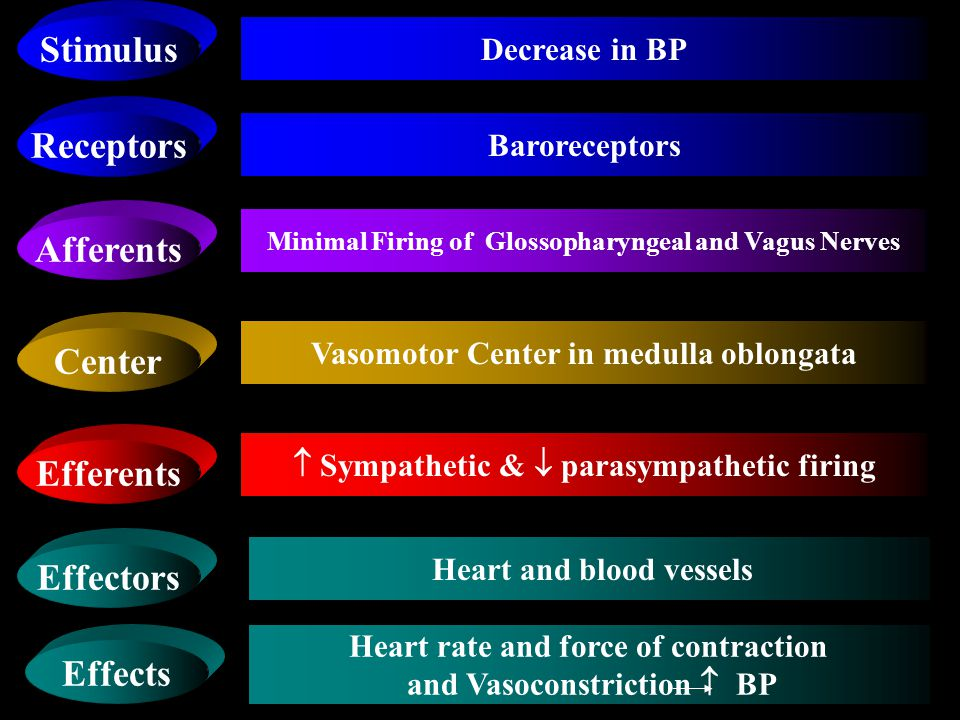 Receptors Afferents Center Efferents Effectors Baroreceptors Increase Firing of Glossopharyngeal and Vagus Nerves Vasomotor Center in medulla oblongata  Sympathetic &  parasympathetic firing Heart and blood vessels Stimulus Effects Increase in BP  Heart rate and force of contraction and Vasodilatation  BP