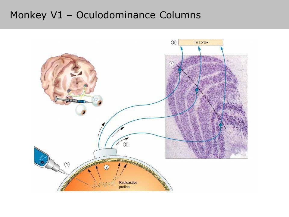 Monkey V1 – Oculodominance Columns
