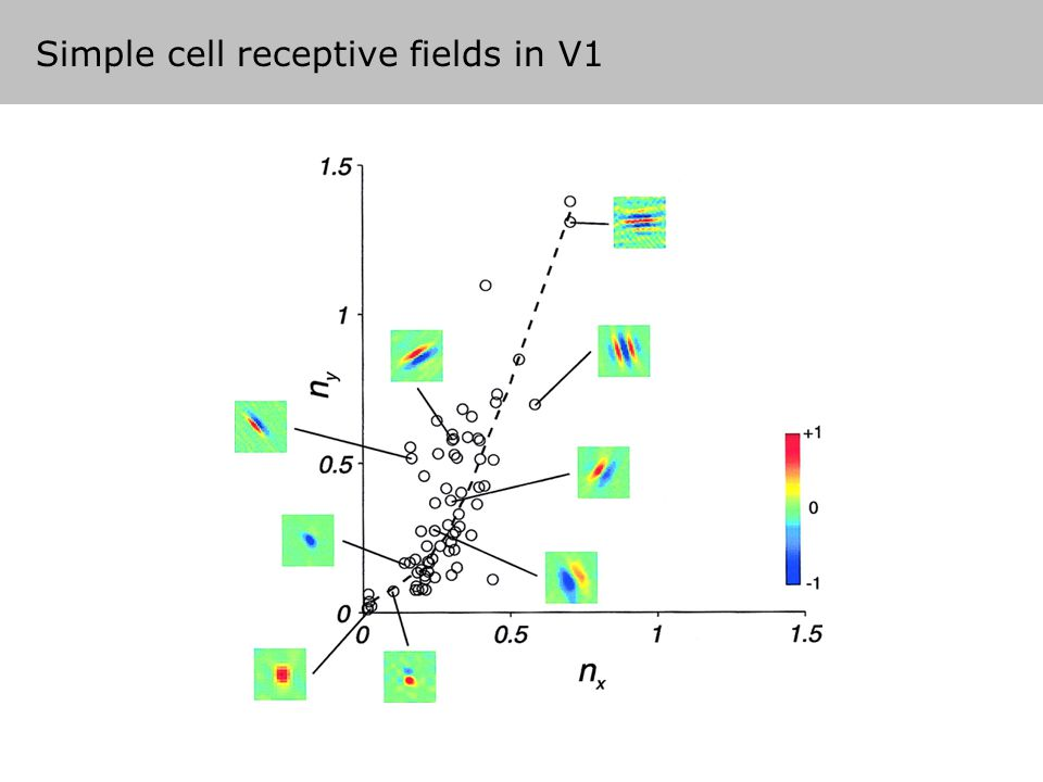 Simple cell receptive fields in V1