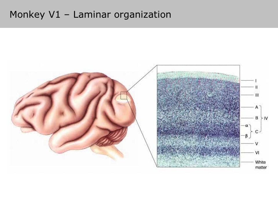 Monkey V1 – Laminar organization