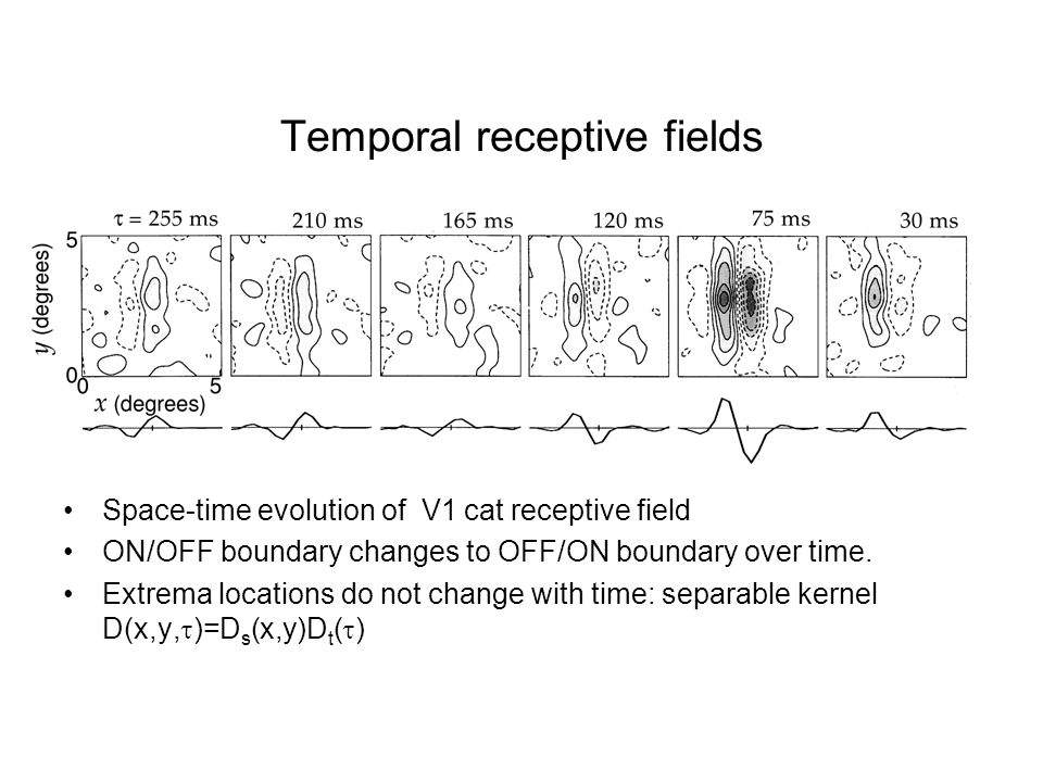 Temporal receptive fields Space-time evolution of V1 cat receptive field ON/OFF boundary changes to OFF/ON boundary over time. Extrema locations do no