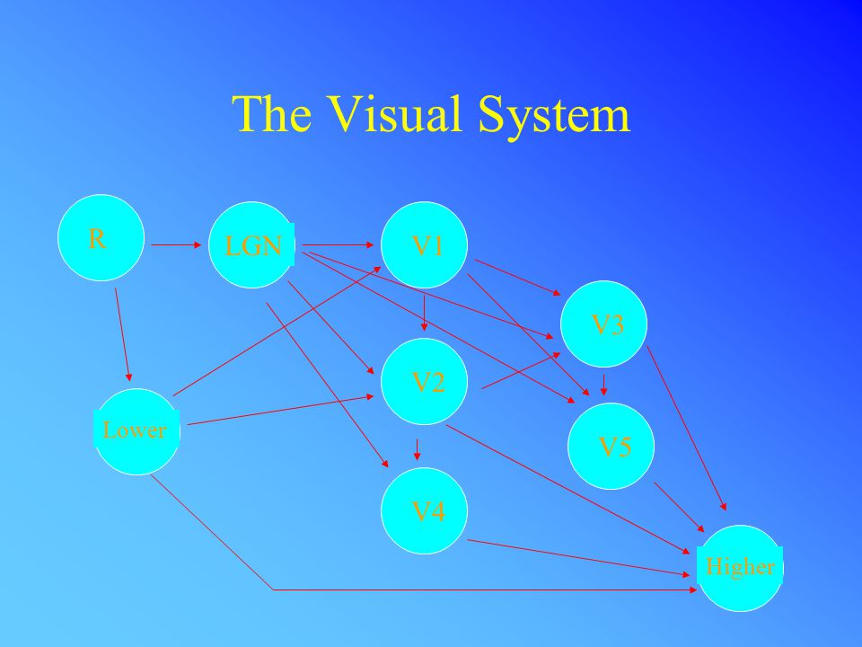 The Visual System R LGNV1 V2 V4 V3 V5 Higher Lower