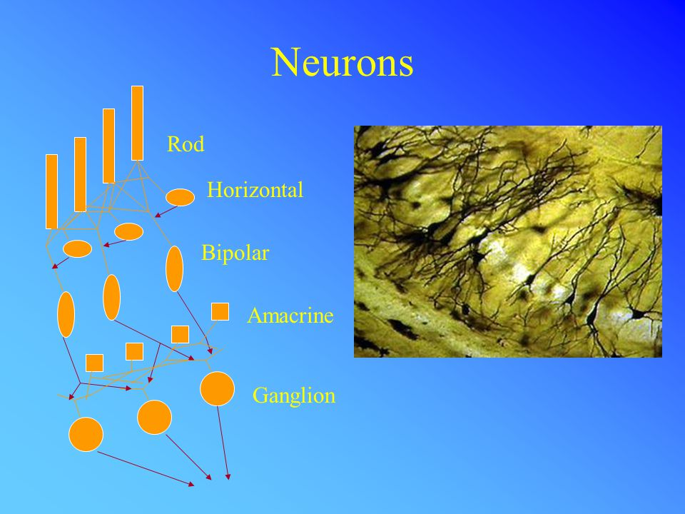 Neuron Models The McCullogh-Pitts model Inputs Output w2w2 w1w1 w3w3 wnwn w n-1...